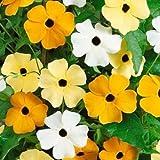 Black Eyed Susan Vine Mix 25 Seeds Beautiful Mixed Colors