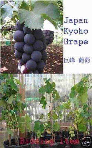 Japan Kyoho Grapes Aromatic Fragrant Flavor Live Plant