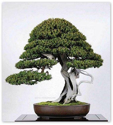 Yew Bonsai (15 Seeds Taxus Cuspidata (Japanese Yew Seeds) Bonsai Tree)