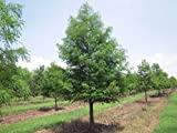 Bald Cypress - Taxodium distichum – Healthy Established Roots - 1 Gallon Trade Potted – 1 Plant by Growers Solution