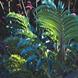 Plant World Seeds - melianthus Major Seeds
