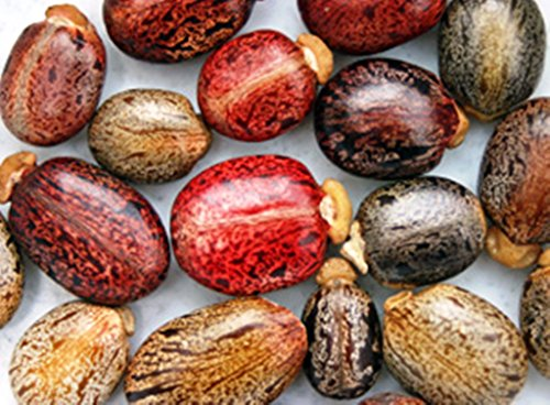 10 Castor Bean Tropical Mix,ricinus Communis Impala Rare Jatropha Castor Bean Oil Plant Seeds