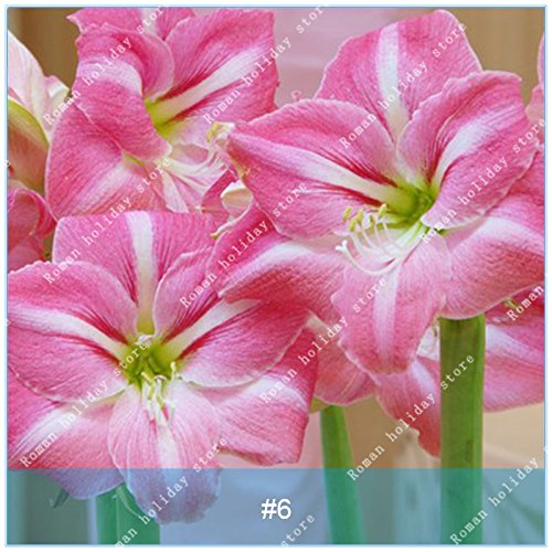 ZLKING 1 Pcs/Pack Big True Amaryllis Bulbs Indoor and Outdoor Potted Flowers Plants Flower Bulb Bonsai Survival Rate is High 6
