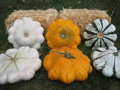 David's Garden Seeds Squash Summer Scallop Blend Cosmic Stars CS321H (Multi) 50 Hybrid Seeds