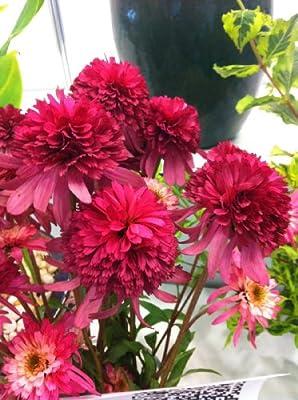 Southern Belle Coneflower Seeds Beautiful Summer Blooms Fresh
