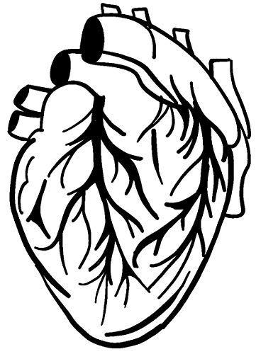 Hearts Sketch (hBARSCI Anatomical Heart Sketch Vinyl Decal - 5