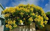Golden Rain Tree Koelreuteria Elegans Organic 10 Seeds GBP 001