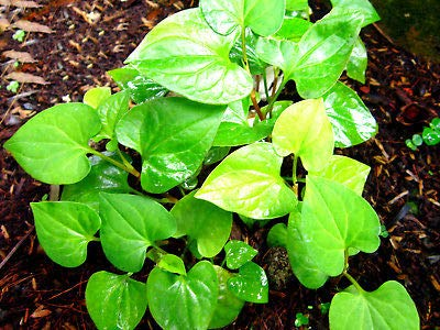 10 Live Bare Root Fish Mint Houttuynia Cordata Asian Herb Starter Plants Rare MHWK25 ()