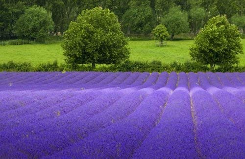 (True English Lavender Vera Nice Garden Flower By Seed Kingdom BULK 10,000 Seeds~Exotic plants)