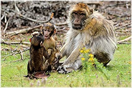 laminated poster species animal barbary macaque baby monkey monkey poster print 24 x 36