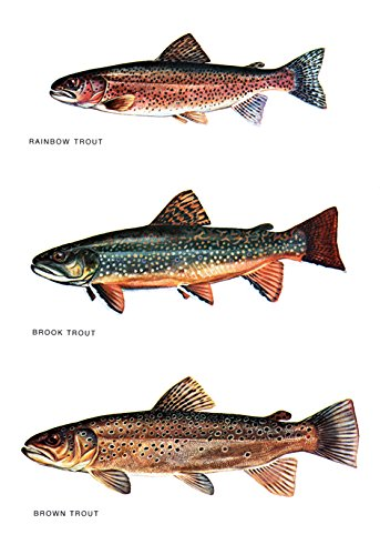 amazon com trout classification poster fishing rainbow trout