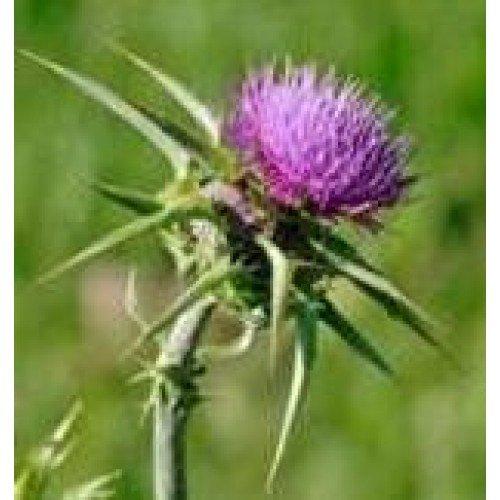Herb Seeds - Milk Thistle - 200 Seeds Nuts n' Cones