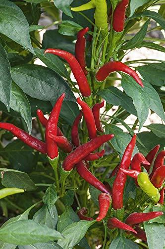 Hybrid Hot Pepper (Hot Pepper Thai Super Chili Hybrid Pkt - Approx. 20 Seeds)