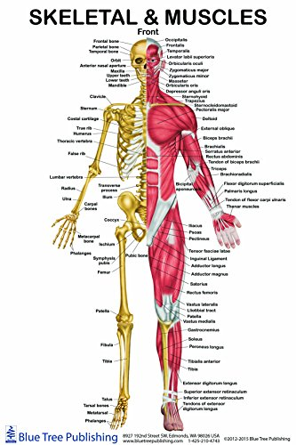 Skeletal Muscles Front View Poster 24x36inch, for Physical Fitness, Working Out, Muscular System Anatomical Chart