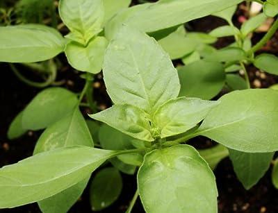 200+ Lime Basil Herb Seeds- Heirloom Variety