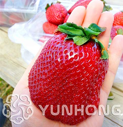 100pcs Germany Super Big Strawberry Bonsai Fruit Bonsai Supplies Bonsai Plants