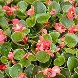 Outsidepride Wax Begonia Semperflorens Rose Flower Seed - 5000 Seeds