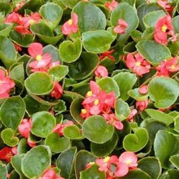 Outsidepride Begonia Wax Rose - 5000 Seeds