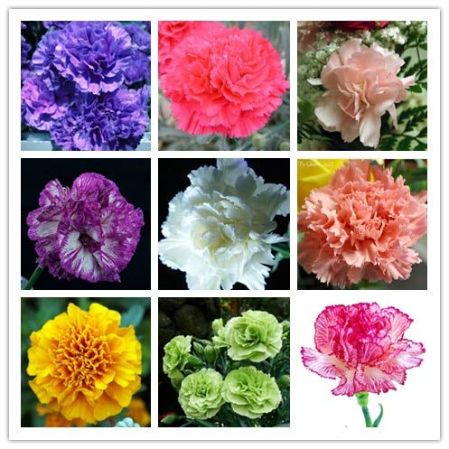 200 seeds/pack Cut carnation seeds potted balcony hardy perennial flower seeds,bonsai seeds for home garden