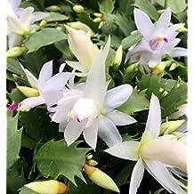 """White Christmas Cactus Plant -Zygocactus - 6"""" Hanging Basket"""