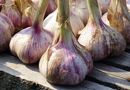 Giant Garlic Seeds Lyubasha Vegetable for Planting Giant Non GMO 150 Seeds
