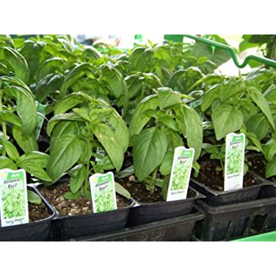 Toyensnow - Basil, GENOVESE, Spice HERB, for Pesto (2820 Seeds) : Garden & Outdoor
