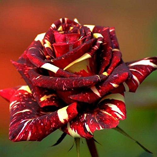 30pcs Abracadabra China Rose Seeds DIY Home Garden Decor (Abracadabra Rose)