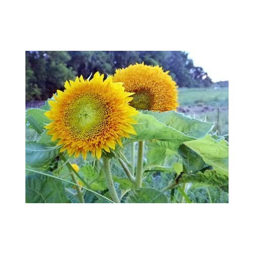 David's Garden Seeds Sunflower Teddy Bear D05306 (Yellow) 25 Organic Seeds