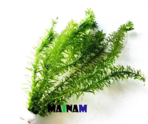 Mainam Anacharis Elodea Densa Tropical Live Aquarium Plants Freshwater Aquatic Pond Water Decorations 3 Days Live Guaranteed