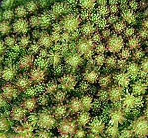 Sedum (Stonecrop) stoloniferum 500 seeds