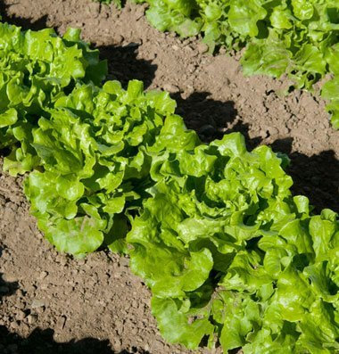 David's Garden Seeds Lettuce Nevada D439A (Green) 500 Open Pollinated Seeds