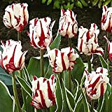 Snow Fire Tulip Flower Seeds 50 Stratisfied Seeds