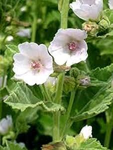 Semillas de malva de pantano (Althaea officinalis) de cultivo ecológico de la herencia hierba