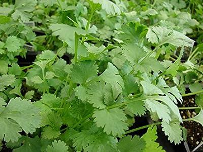 Coriander Coriandrum Sativum Cilantro 500 Seeds