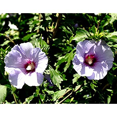 3 Bare Root Plants Rose of Sharon Purple Althea Flowering Shrub Hibiscus : Garden & Outdoor