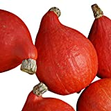 Squash Red Kuri USDA Certified Organic Vegetable Seed - 250 Seeds