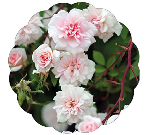 Stargazer Perennials Cecile Brunner Climbing Rose Plant Potted - Fragrant Pink Flowers Own Root