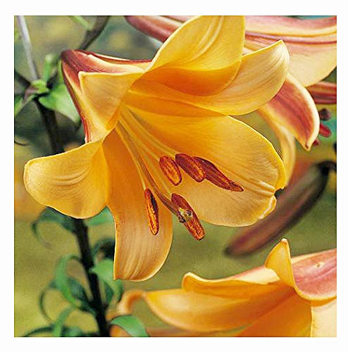1 African Queen Trumpet Lily Bulb - Bareroot Grows 4-5 Feet Tall