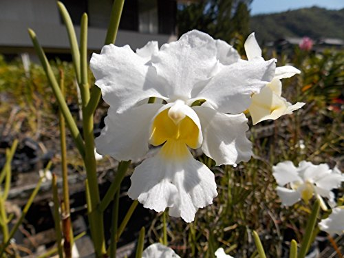 Vanda Miss Joaquim 'Diana' ALBA- Old Timer'! Must See! Limited Hard to find- orchid plant by Kawamoto Orchid Nursery