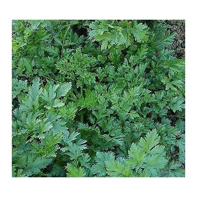 2, 000 Seeds Parsley Splendid Flat Petroselinum Hortense : Garden & Outdoor