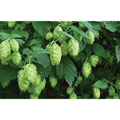 20 Seeds Humulus Lupulus Hops Perennial Vine Seeds Beer Hops Vine Seeds for Planting #HDG-RR : Garden & Outdoor
