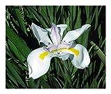 Dietes grandiflora - Large Wild Iris - 10 seeds
