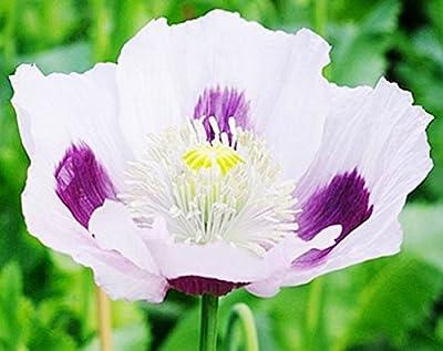 Blue Moon - Somniferum Poppy Seeds