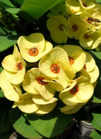 Golden Crown of Thorns Plant - Euphorbia - RARE! - 5