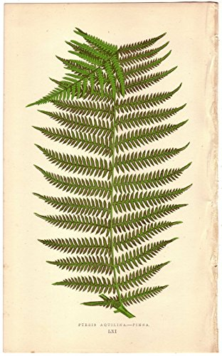 Antique-Fern-Botanical-Prints-Set-of-Four-Photos-8×10-Unframed