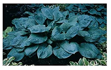 3 Hosta Blue Umbrellas Plants Amazoncouk Garden Outdoors