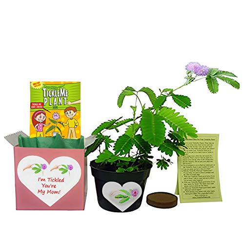 Mother's Day/Birthday TickleMe Plant Gift Box Set - To grow the Plant that closes its leaves when you Tickle it or blow it a Kiss! It even grows Pink Flowers!
