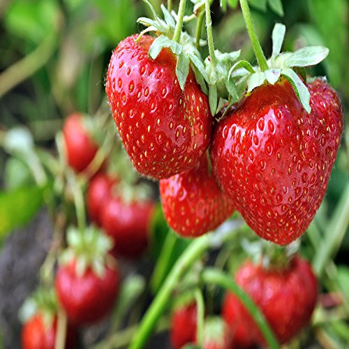 San Andreas Everbearing 100 Live Strawberry Plants, NON GMO by MW119