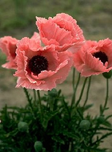 Amazon 40 Coral Reef Poppy Flower Seeds Papaver Orientale