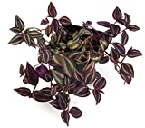"Purple Wandering Jew - Easy to Grow House Plant - Inch Plant - 4"" Pot"
